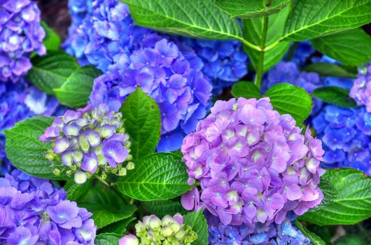 Фото бесплатно Гортензия, цветы, кусты, листья, флора