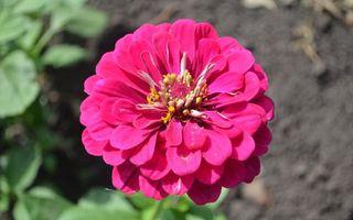 Бесплатные фото цветок,лепестки,розовые,пестики,тычинки,листья,земля