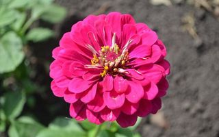 Фото бесплатно цветок, лепестки, розовые, пестики, тычинки, листья, земля