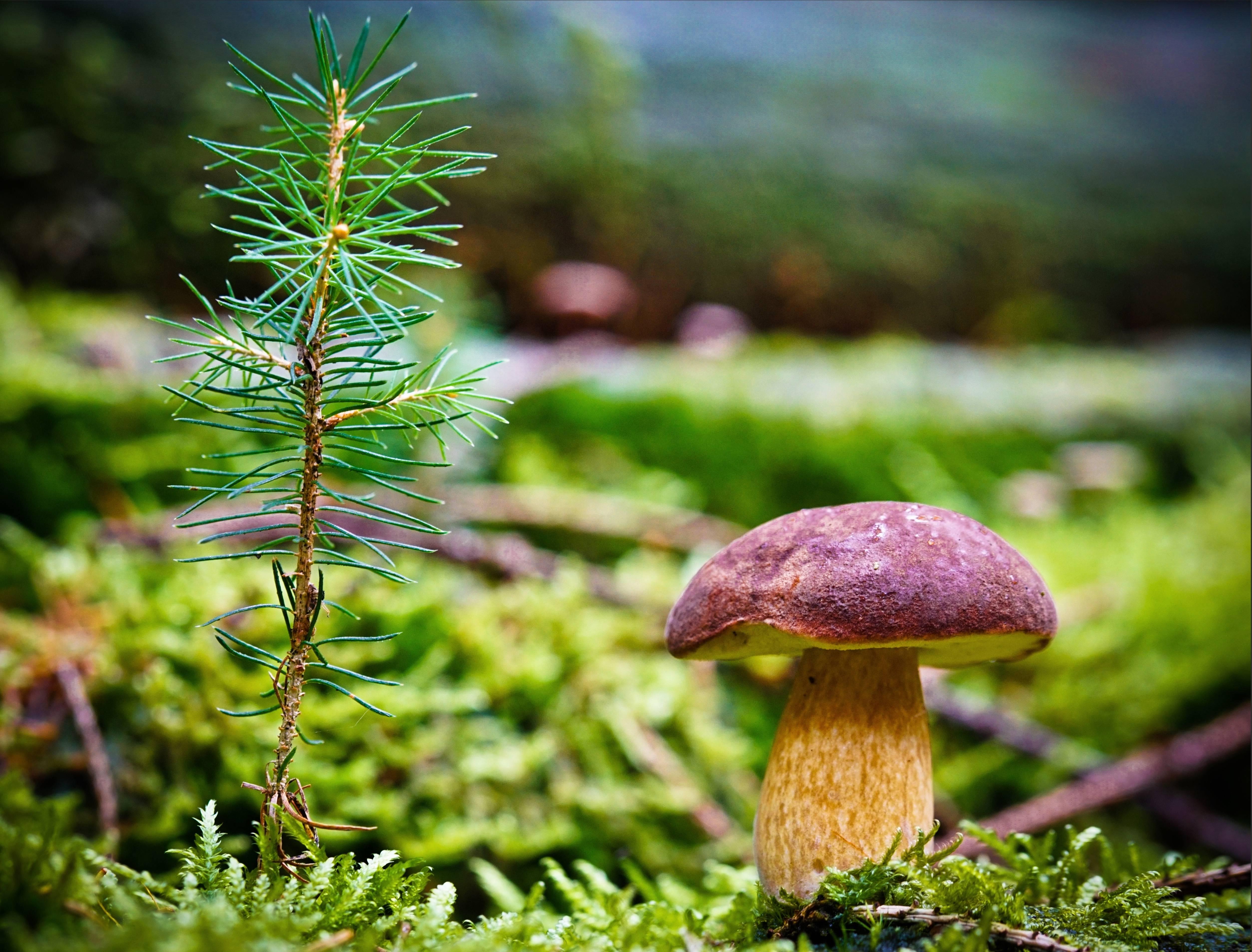 гриб, мох, сосна
