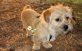 Бесплатные фото пес,морда,лапы,хвост,шерсть,ошейник,ромашки