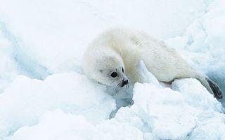 Фото бесплатно тюлень, белёк, детеныш, морда, глаза, ласты, шерсть, снег