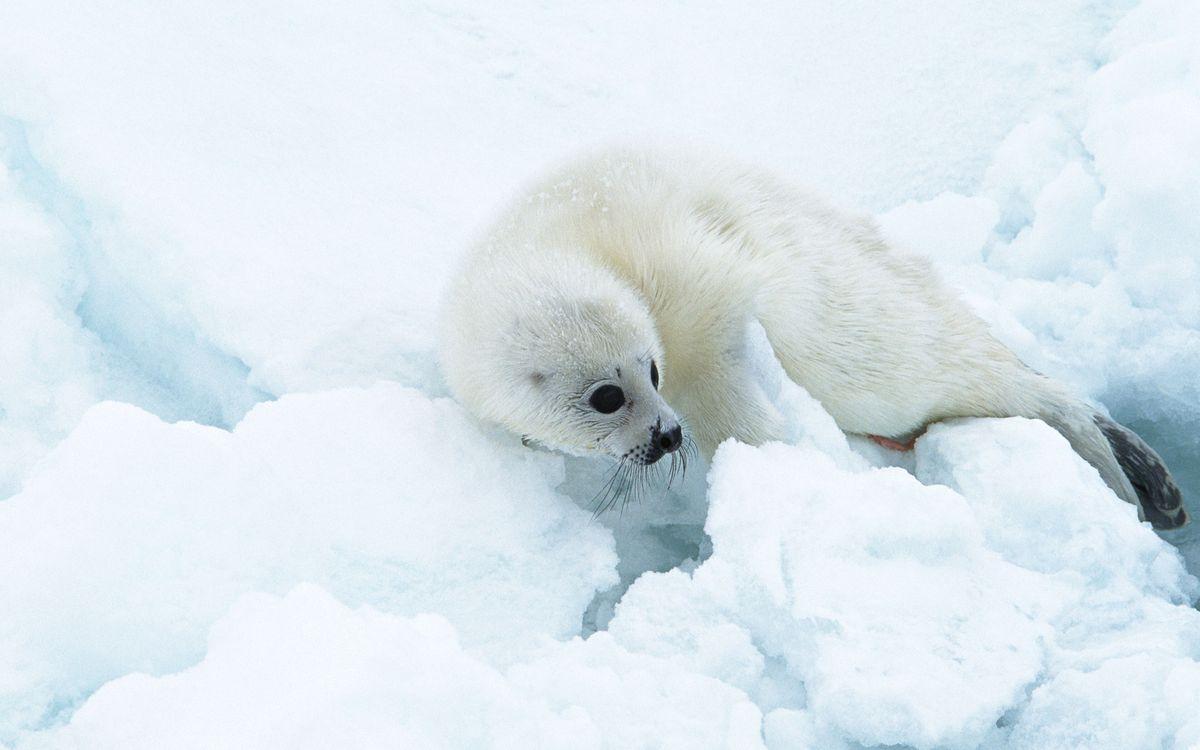 Фото бесплатно тюлень, белёк, детеныш - на рабочий стол