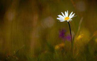 Бесплатные фото ромашка,полевая,лепестки,белые,стебель,трава