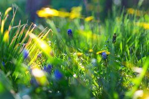 Бесплатные фото трава,одуванчики,цветы