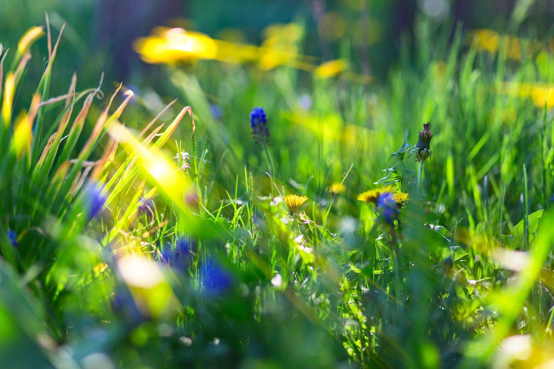 Free photo grass, dandelions, flowers - to desktop
