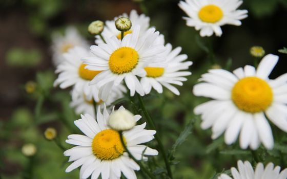Фото бесплатно ромашки, белые лепестки, кустарник