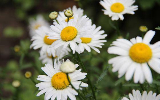 Photo free chamomile, white, petals