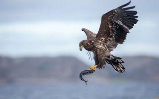 Фото бесплатно рыба, крылья орла, хвост