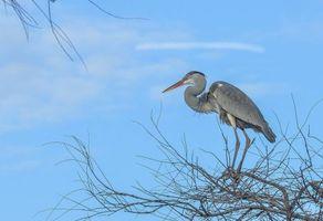 Бесплатные фото Серая цапля,птица,на дереве