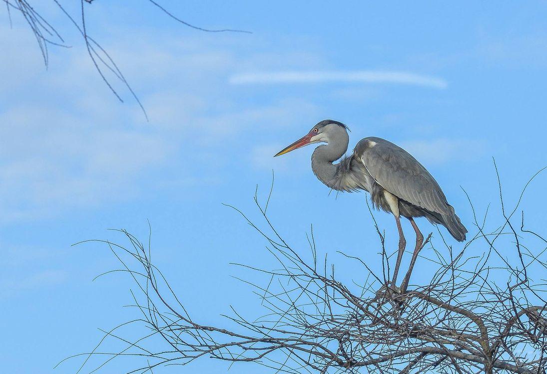 Фото бесплатно Серая цапля, птица, на дереве - на рабочий стол