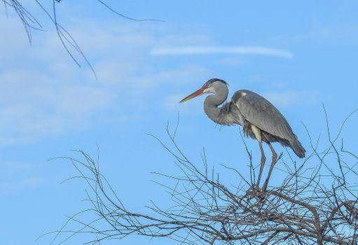 Фото бесплатно Серая цапля, птица, на дереве