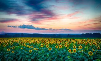 Заставки закат, небо, цветы, поле, подсолнухи, пейзаж