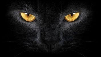 Бесплатные фото морда,глаза,желтые,нос,шерсть,черная