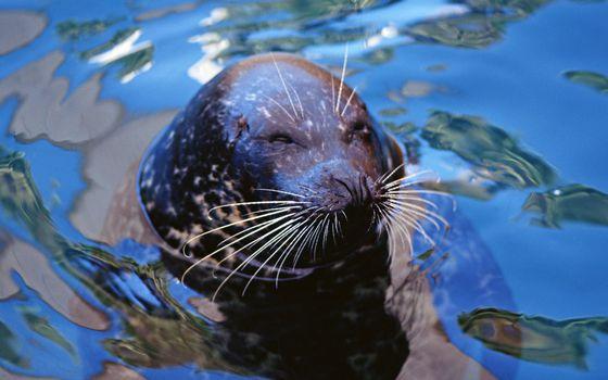 Фото бесплатно морской котик, морда, глаза