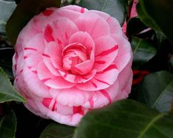 Фото бесплатно Камелия японская, флора, листья