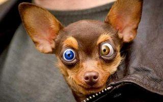 Бесплатные фото собака,той-терьер,запазуха,морда,глаза,разноцветные,таращит