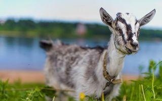 Бесплатные фото коза,морда,уши,шерсть,ошейник,трава