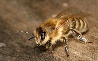 Фото бесплатно пчелы, лапки, крылья