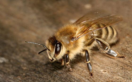 Заставки пчелы, лапки, крылья