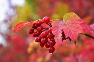 Бесплатные фото осень,ветка,ягоды,листья,макро