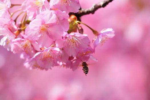 Photo free sakura, cherry blossoms, sakura branches