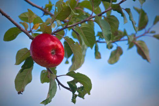 Фото бесплатно яблоня, ветка, яблоко