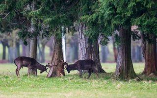 Фото бесплатно олени бодаются, рога, морды