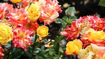 Бесплатные фото розы,клумба,лепестки,разноцветные,бутоны,листья