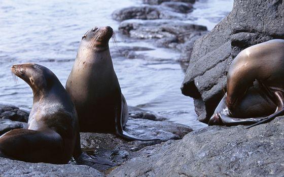 Фото бесплатно намордники, камни, морские котики