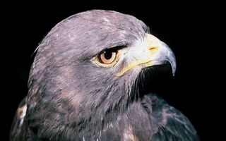 Фото бесплатно орел, голова, глаза
