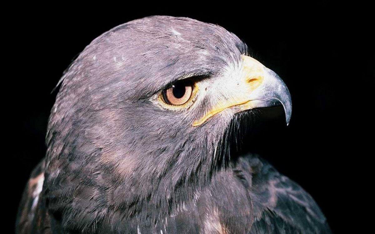 Фото бесплатно орел, голова, глаза - на рабочий стол