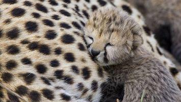 Бесплатные фото гепард,самка,котенок,спит,морда,лапы,шерсть