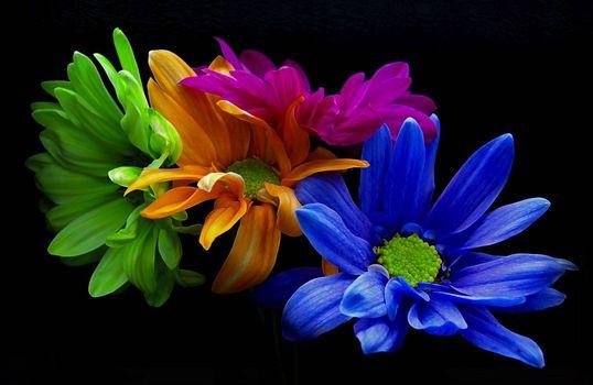 Фото бесплатно хризантемы, цветы, флора, чёрный фон