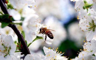 Бесплатные фото пчела,собирает,мед,цветы,белые,яблоня