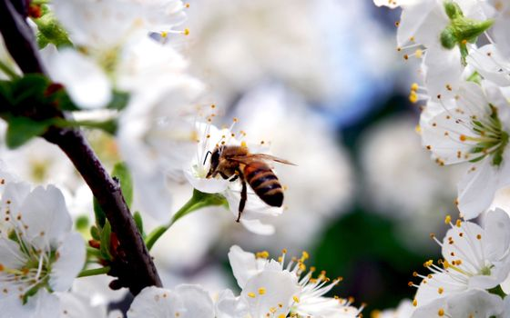 Photo free bee, collects, honey