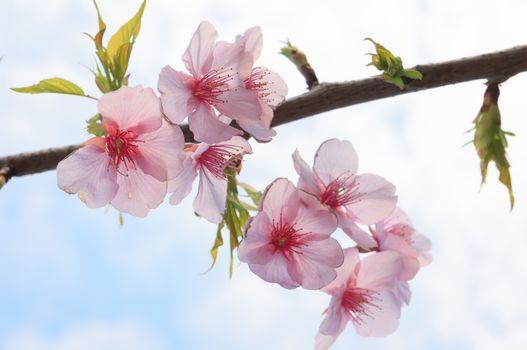Photo free cherry blossom, branch, flora