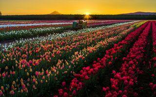 Бесплатные фото Тюльпаны,поле,закат,солнца,трактор