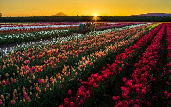 Фото бесплатно Тюльпаны, поле, закат
