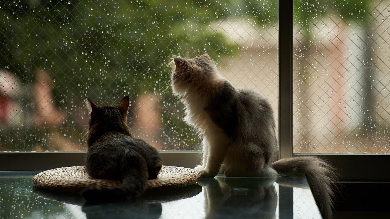 Фото бесплатно кошки, смотрят в окно, стекло, дождь, капли, ситуации