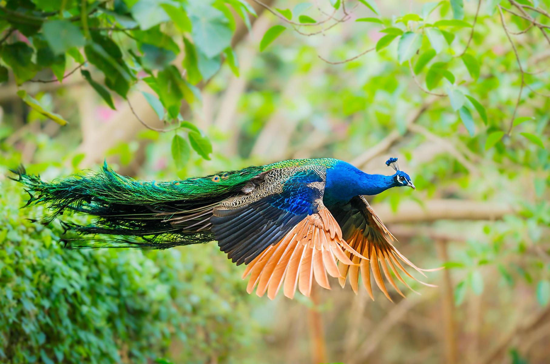 Обои павлин, птица, летит
