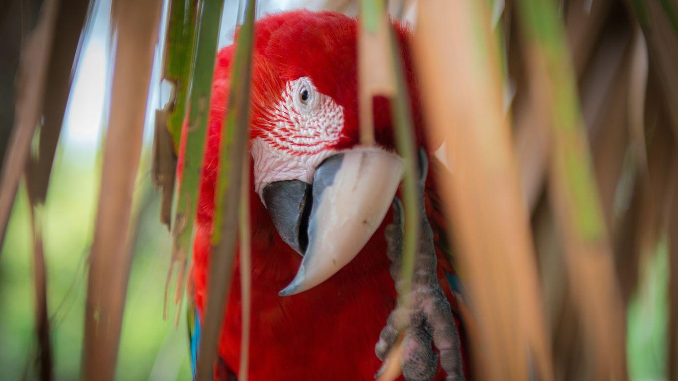 Фото бесплатно попугай, ара, клюв, перья, цветные, лапа, листья, птицы