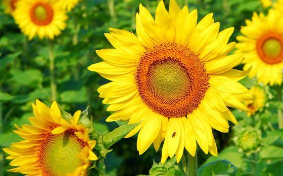 Photo free sunflower, bee