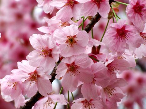 Photo free spring, small flowers, cherry blossoms