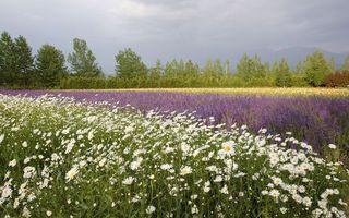 Бесплатные фото поле,цветы,ромашки,лаванда,кустарник,деревья,небо