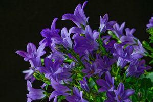 Бесплатные фото Колокольчики,Campanula,цветы,флора