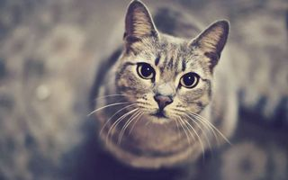 Фото бесплатно кошка, морда, глаза, уши, шерсть