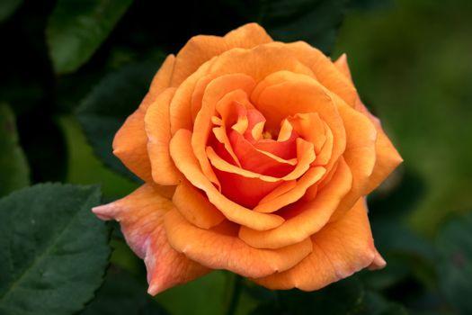 Фото бесплатно флора, одинокая роза, роза