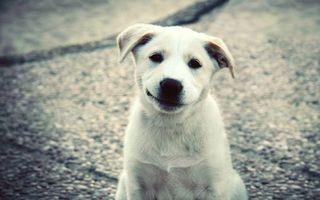 Фото бесплатно щенок, белый, морда