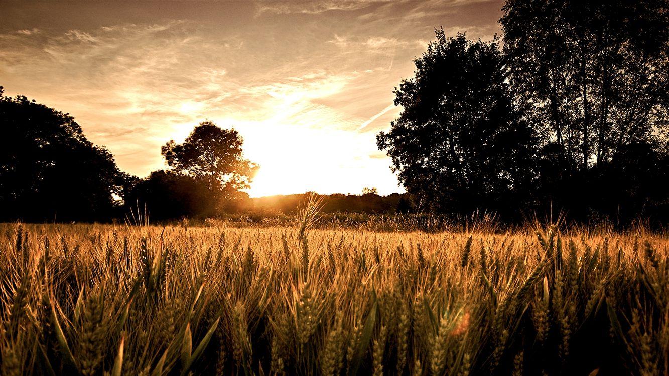Фото бесплатно деревья, колосья, пшеница - на рабочий стол